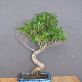 Ficus retusa kimen