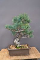 Nové bonsaje na predaj.